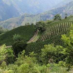 Nueva Colombia – from tree to cup